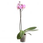 Орхідея «Сакраменто» - image-0