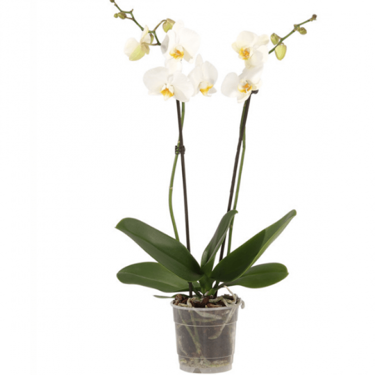 Орхідея «Tropical Snowball» - image-0
