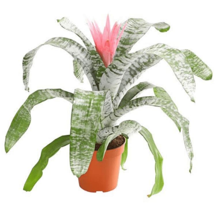 Ехмея рожева - image-0